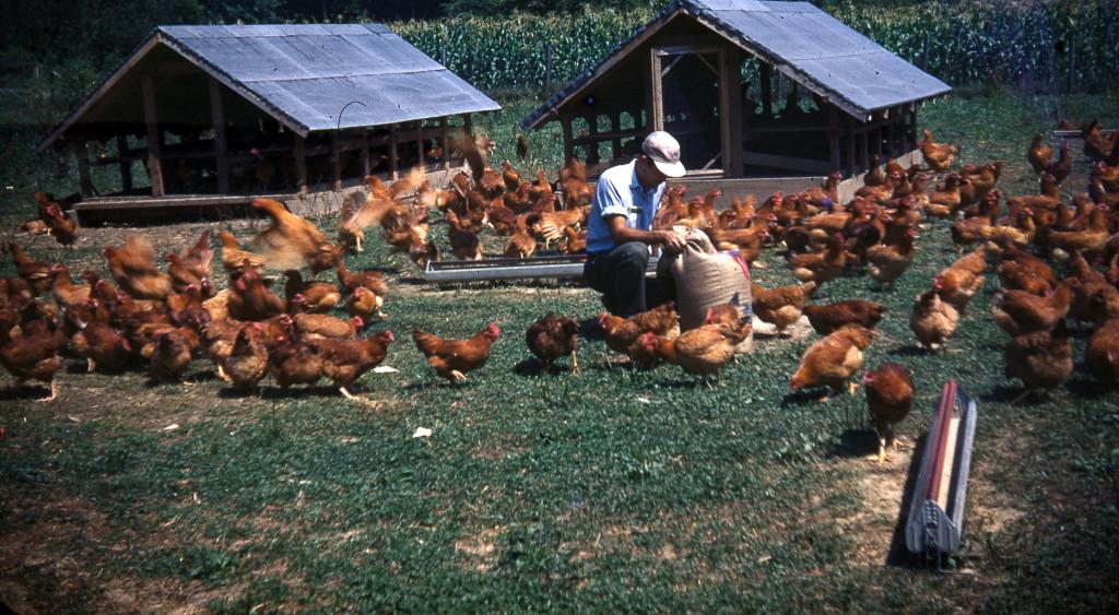 Poultry farming, c. 1940's