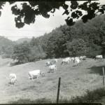 Ayrshire herd. Grace Rood Album II