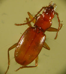 220px-Beaver_Cave_Beetle