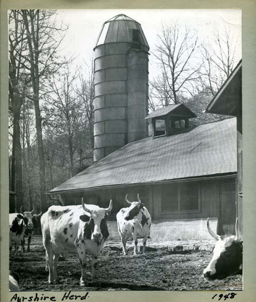 """Ayrshire Herd 1948."" Barn and silo in background. [nace_II_album_041.jpg]"