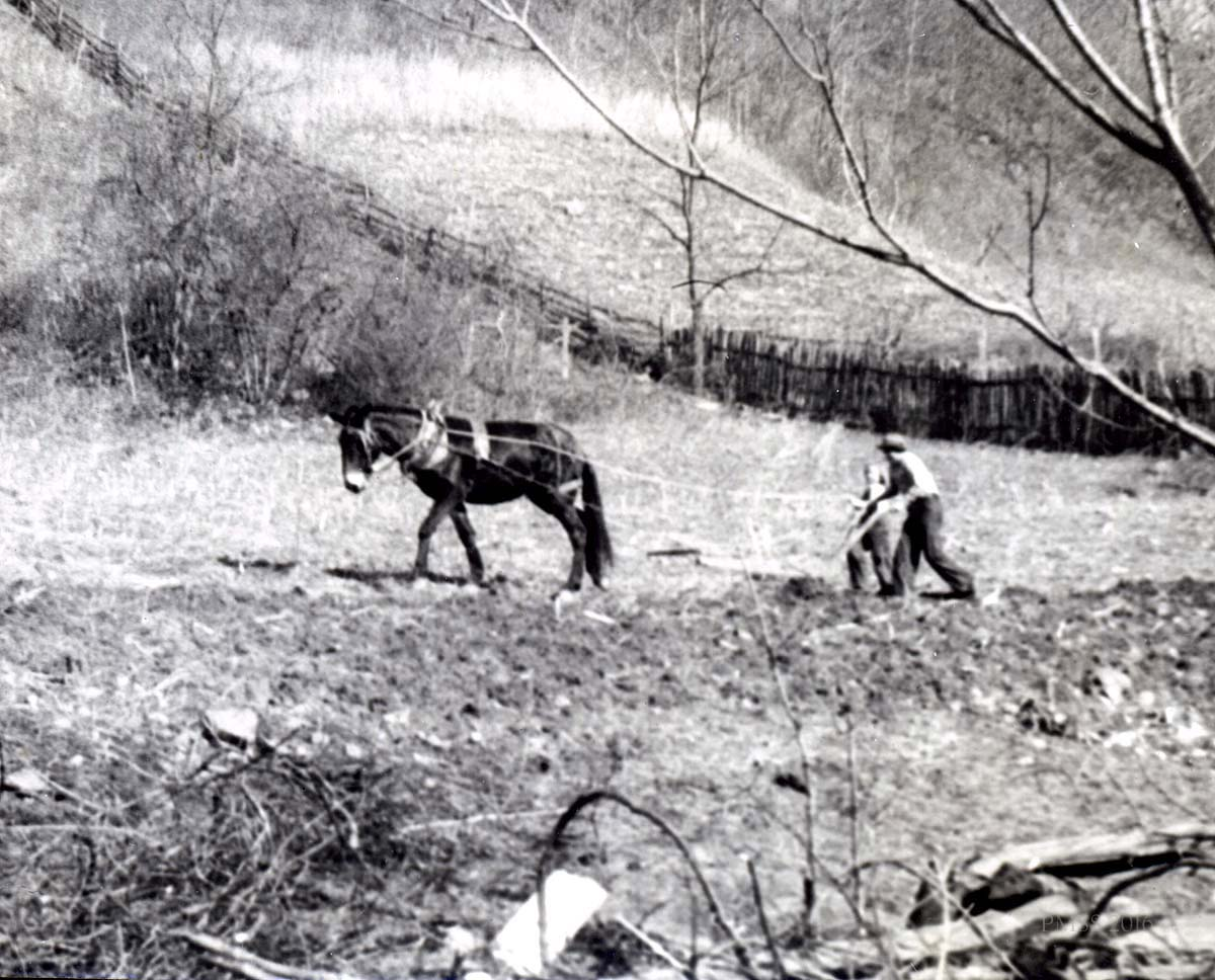 Farming the land. Ploughing with mule.